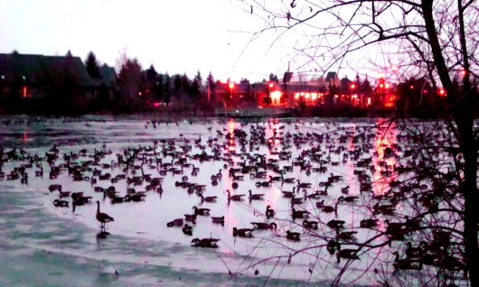 Geese, Swan ,lake, tree, sunset, lights, evening, frozen, ice