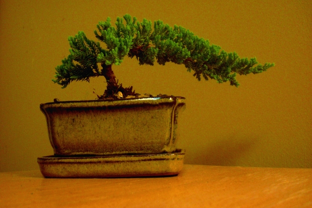 My Juniper Bonsai