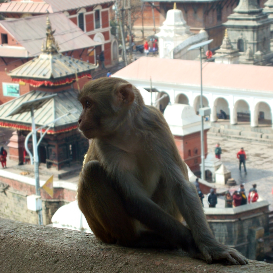 A monkey with the Temple court  in the background